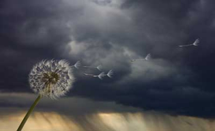 Dandelion with scenic background of stormclouds